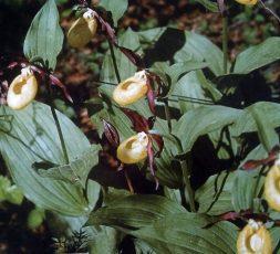 (Eesti) Meie looduse kaunid käpalised ehk orhideed